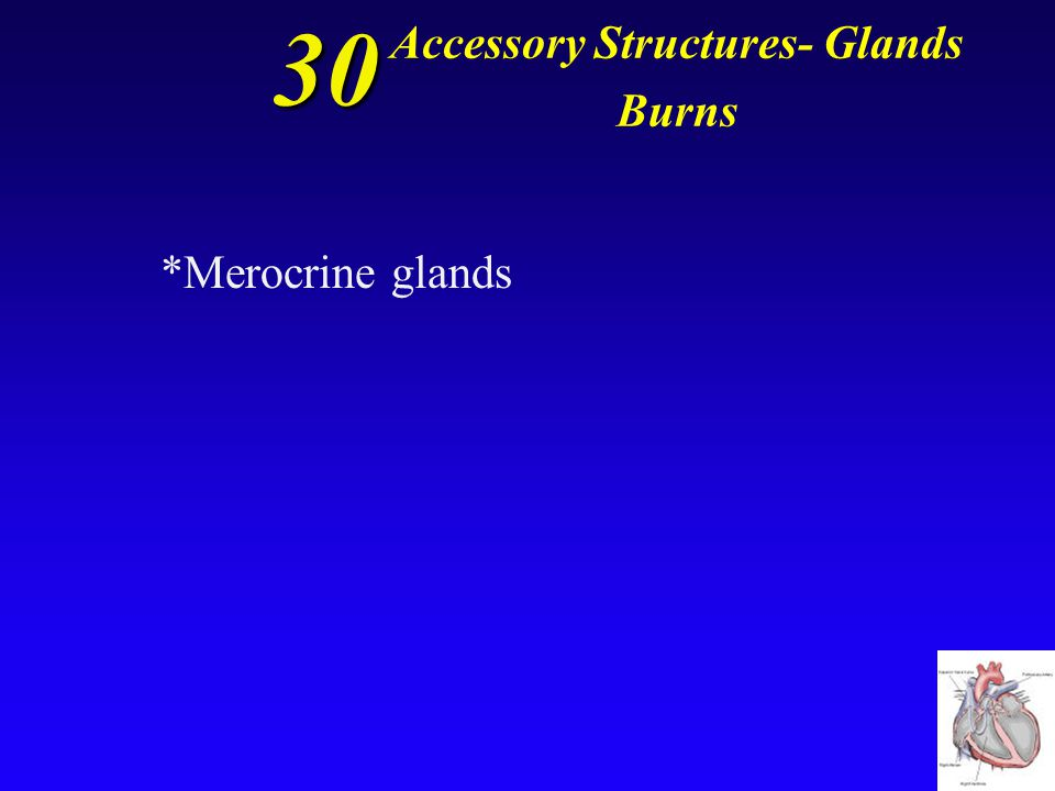 30 Accessory Structures- Glands Burns Glands that are numerous throughout the body, and highly concentrated on the palms of hands and soles of feet