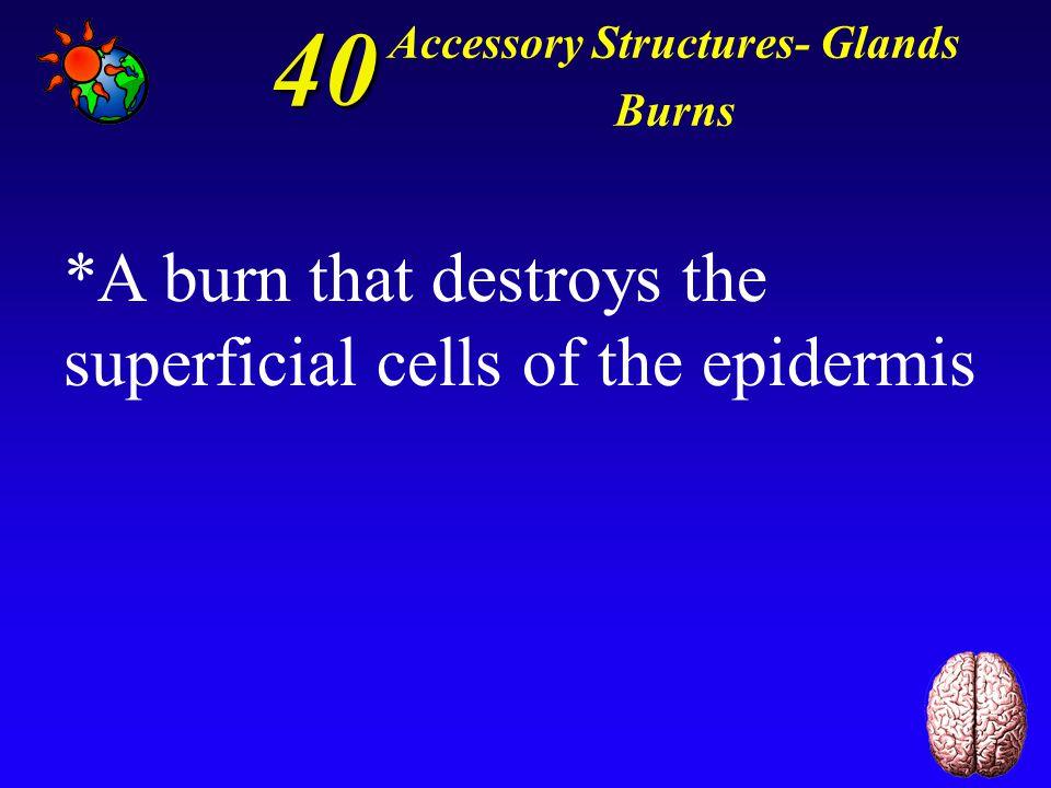 30 Accessory Structures- Glands Burns *Merocrine glands