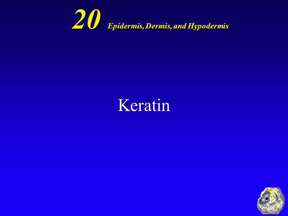 20 Epidermis, Dermis, and Hypodermis Keratin