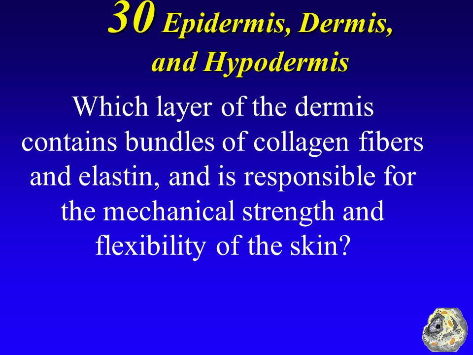 30 Epidermis, Dermis, and Hypodermis Which layer of the dermis contains bundles of collagen fibers and elastin, and is responsible for the mechanical strength and flexibility of the skin?