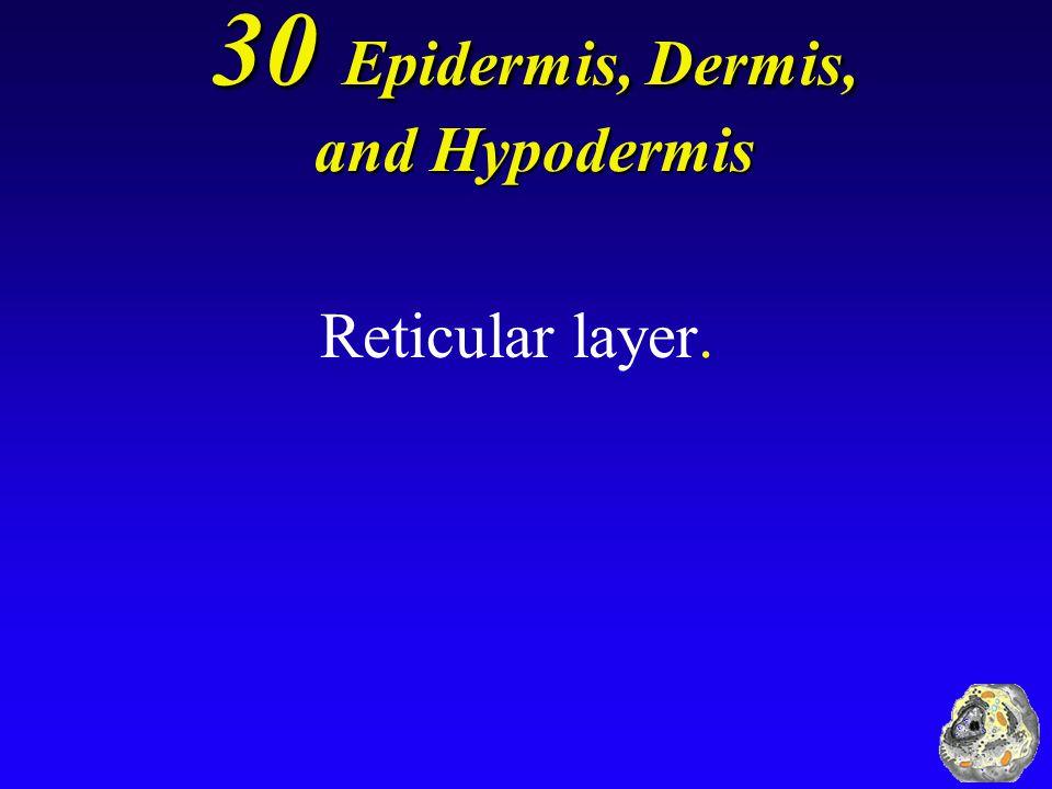 30 Epidermis, Dermis, and Hypodermis Reticular layer.