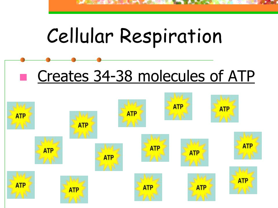 Cellular Respiration Creates 34-38 molecules of ATP