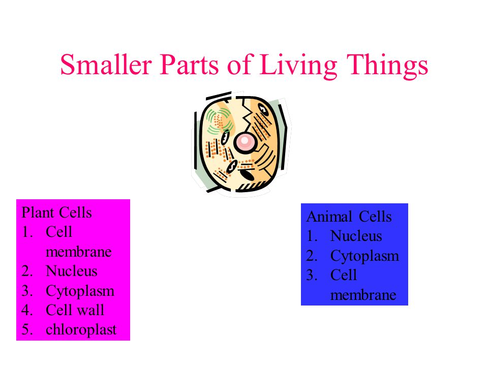Smaller Parts of Living Things Plant Cells 1.Cell membrane 2.Nucleus 3.Cytoplasm 4.Cell wall 5.chloroplast Animal Cells 1.Nucleus 2.Cytoplasm 3.Cell membrane