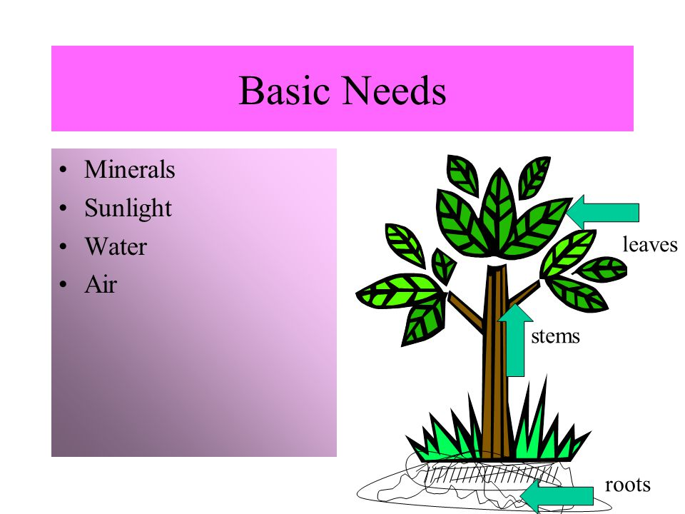 Basic Needs Minerals Sunlight Water Air ///////////////////// roots stems leaves