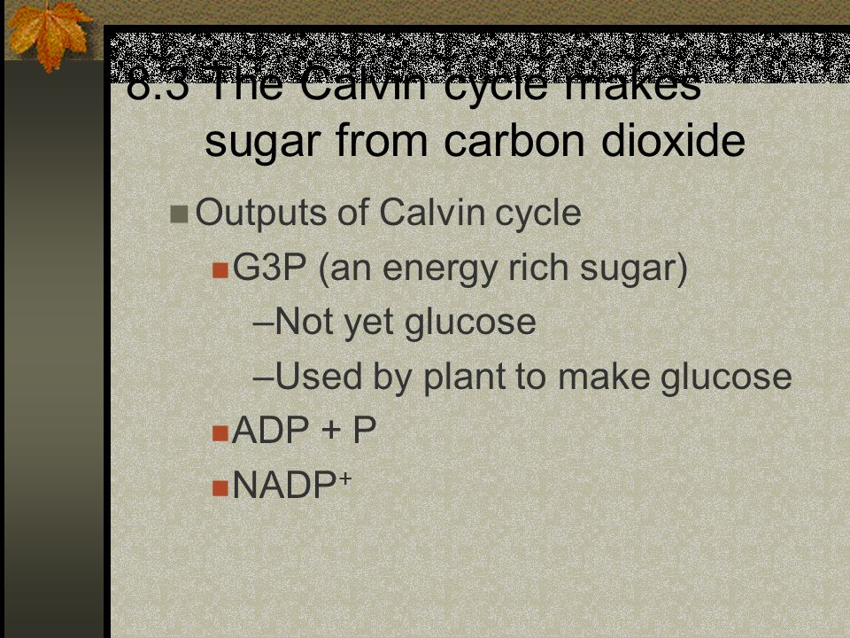 Outputs of Calvin cycle G3P (an energy rich sugar) –Not yet glucose –Used by plant to make glucose ADP + P NADP + 8.3 The Calvin cycle makes sugar fro