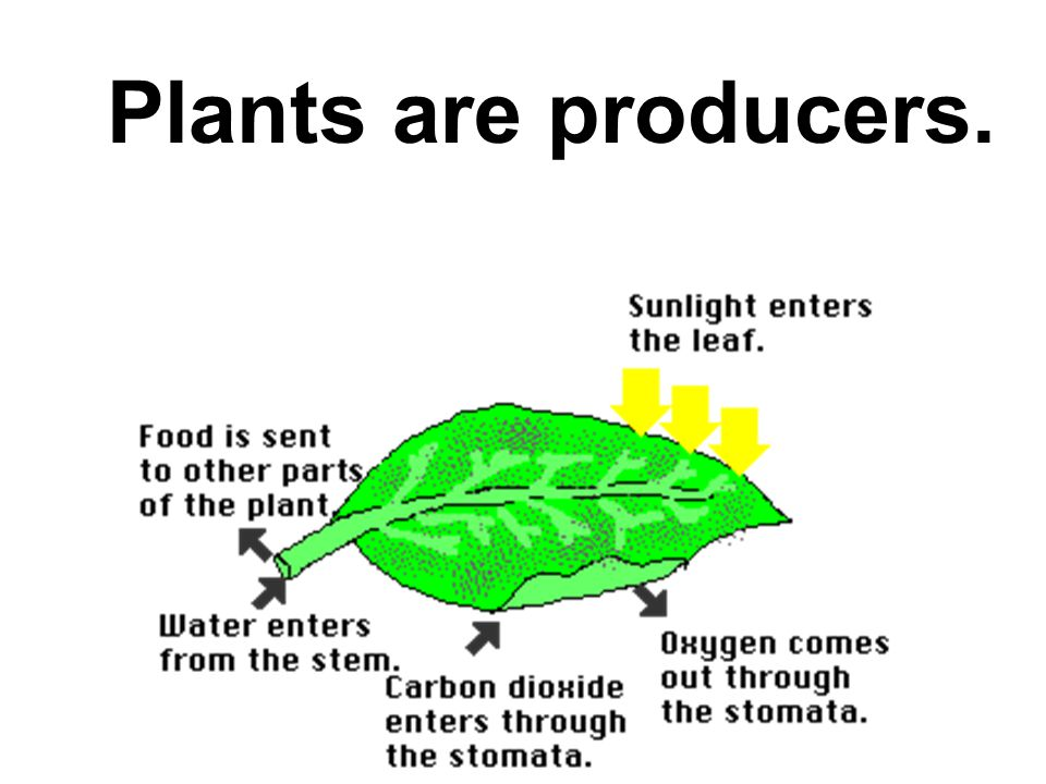 But there is one type of organism that can produce food from sunlight energy.