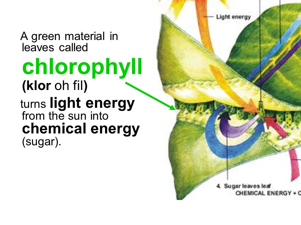 A green material in leaves called chlorophyll (klor oh fil) turns light energy from the sun into chemical energy (sugar).