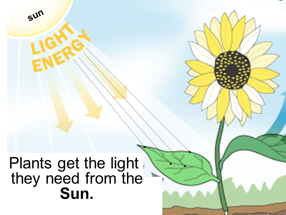 Plants get the light they need from the Sun. sun