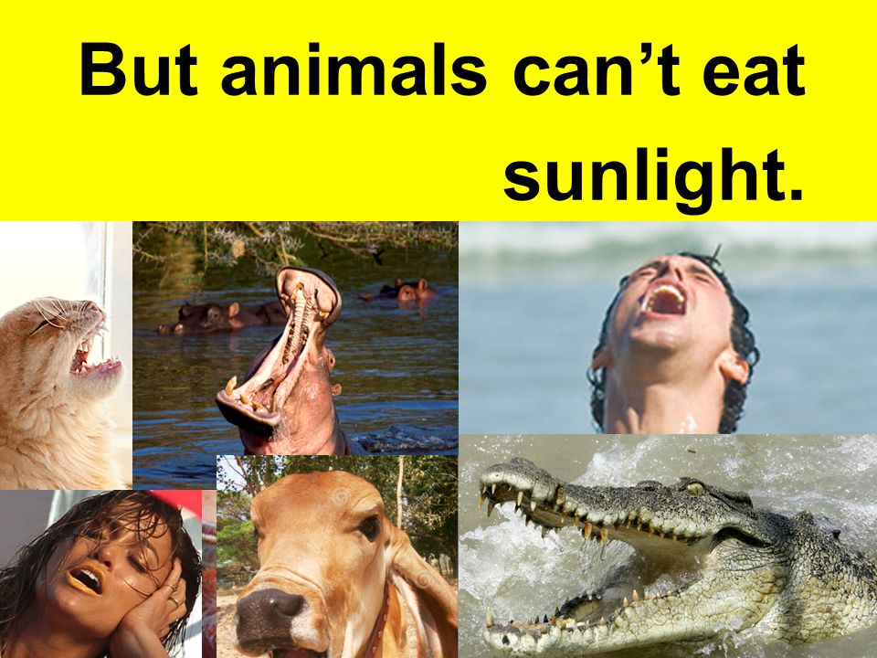 But animals can't eat sunlight.