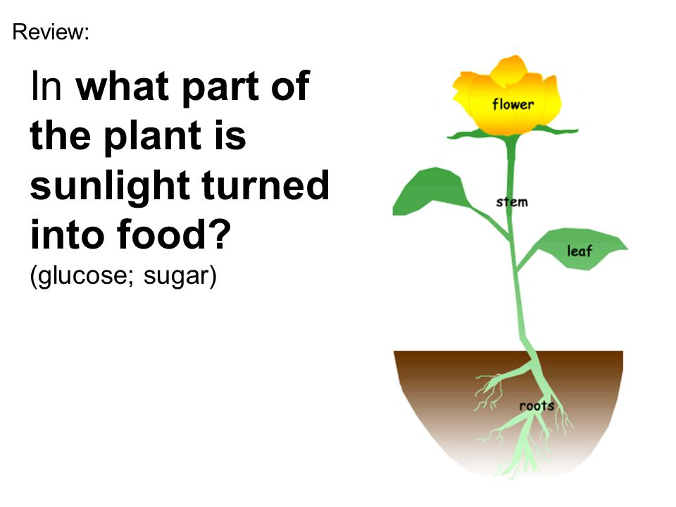 Review: In what part of the plant is sunlight turned into food? (glucose; sugar)