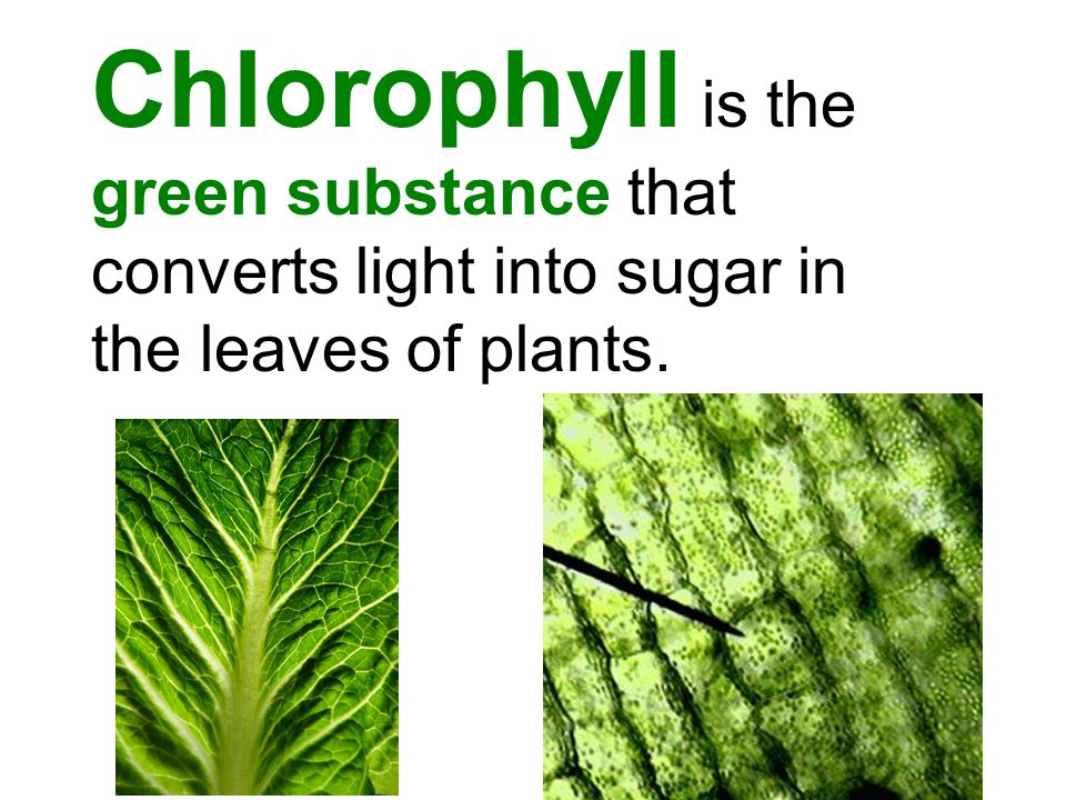 Chlorophyll is the green substance that converts light into sugar in the leaves of plants.