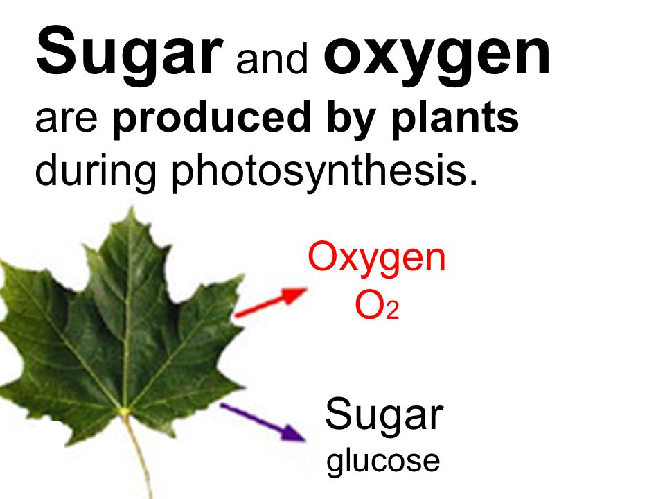 Sugar and oxygen are produced by plants during photosynthesis. Oxygen O 2 Sugar glucose