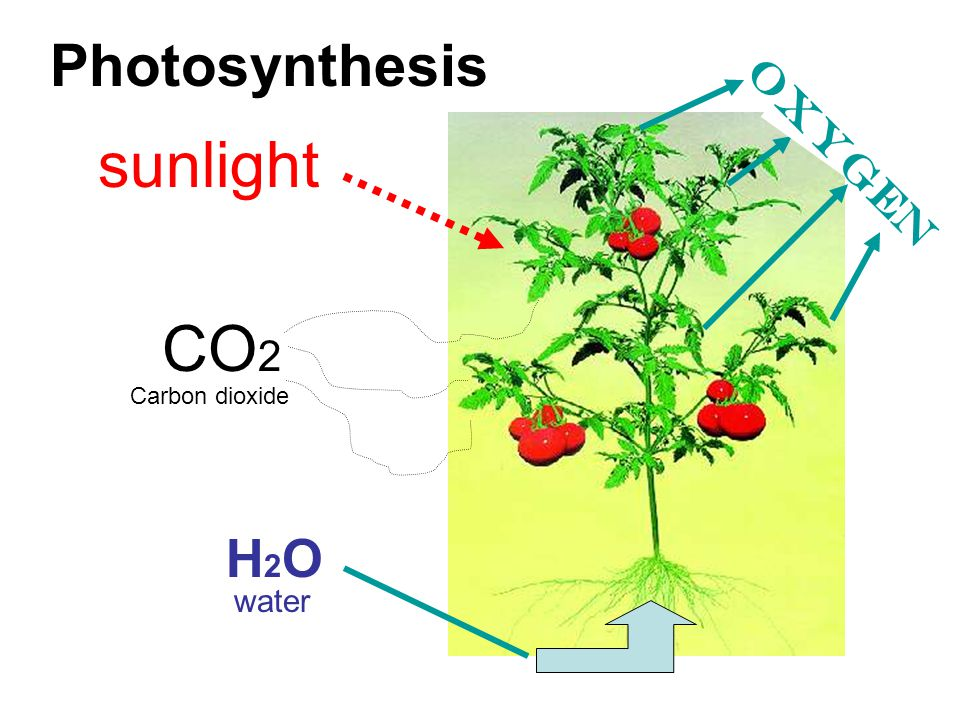 Photosynthesis sunlight CO 2 H2OH2O Carbon dioxide water oxygen