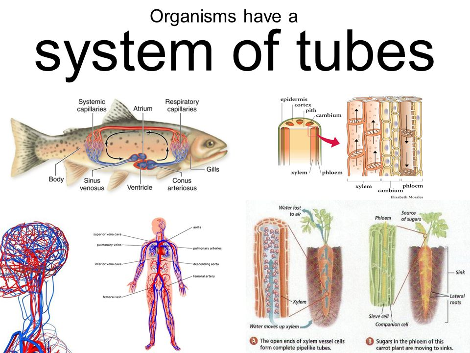 system of tubes Organisms have a