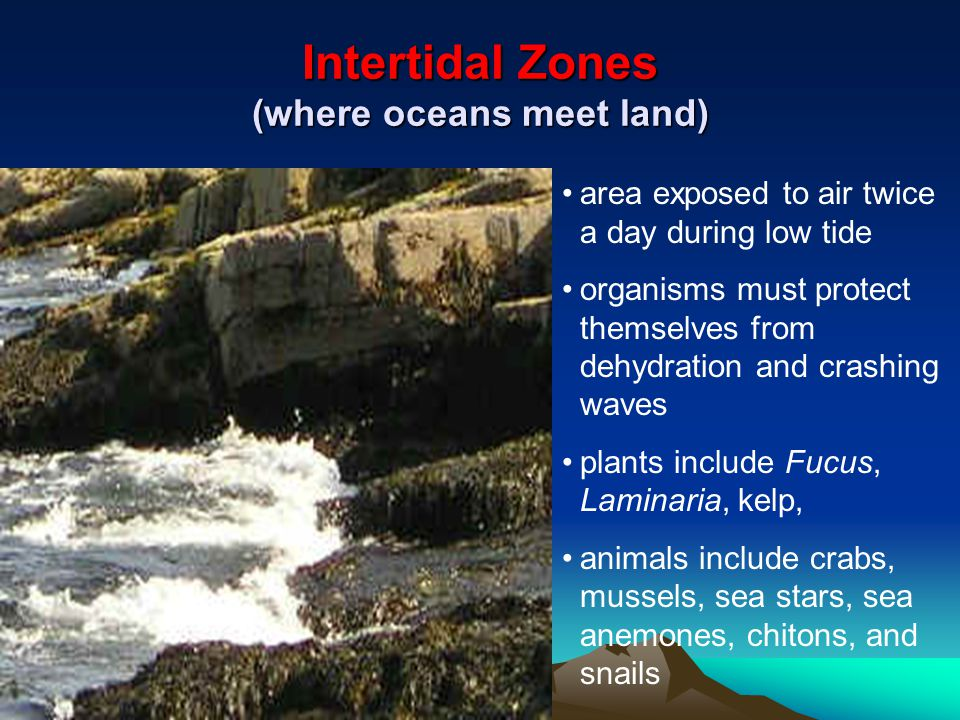 Intertidal Zones (where oceans meet land) area exposed to air twice a day during low tide organisms must protect themselves from dehydration and crashing waves plants include Fucus, Laminaria, kelp, animals include crabs, mussels, sea stars, sea anemones, chitons, and snails
