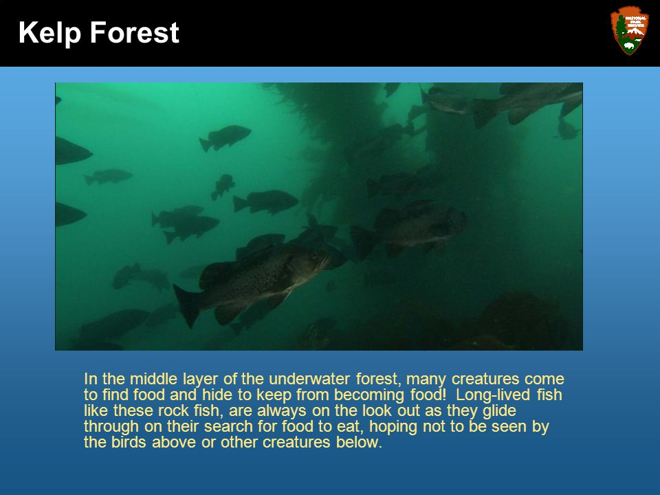 In the middle layer of the underwater forest, many creatures come to find food and hide to keep from becoming food! Long-lived fish like these rock fi