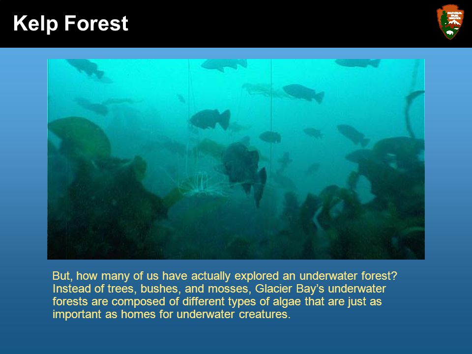 But, how many of us have actually explored an underwater forest? Instead of trees, bushes, and mosses, Glacier Bay's underwater forests are composed o