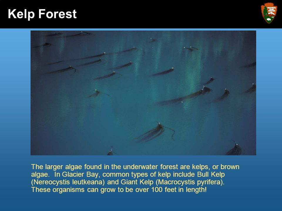 The larger algae found in the underwater forest are kelps, or brown algae. In Glacier Bay, common types of kelp include Bull Kelp (Nereocystis leutkea
