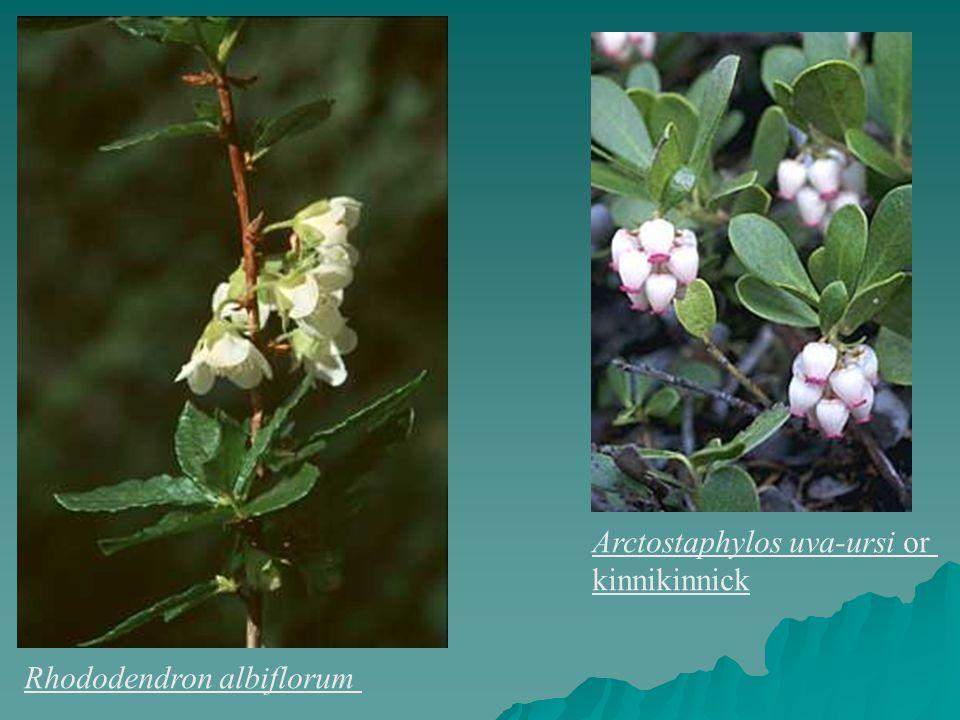 Rhododendron albiflorum Arctostaphylos uva-ursi or kinnikinnick