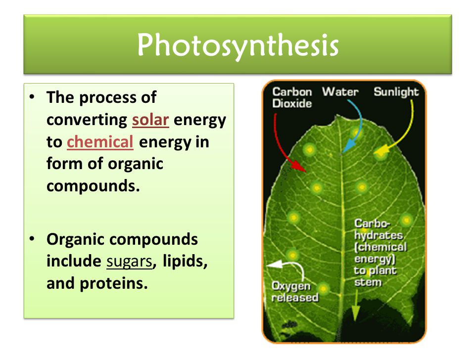 The Leaf is the plant's photosynthetic organ.The leaf's chlorophyll absorbs solar energy.