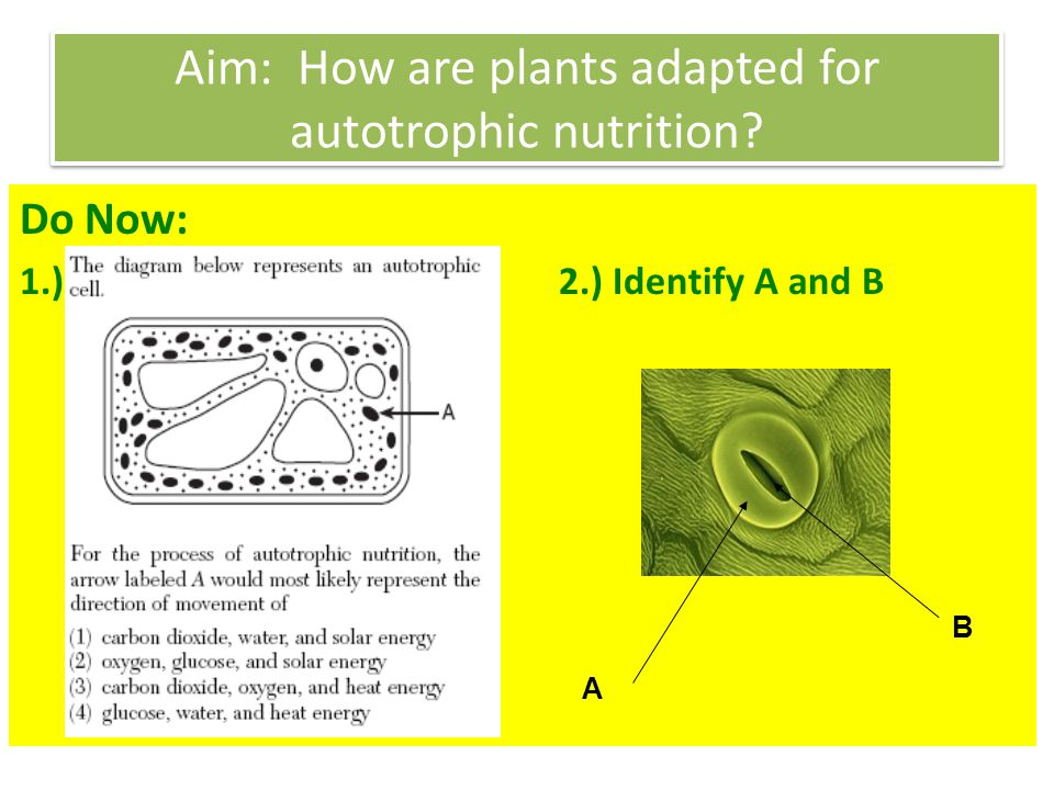 Aim: How are plants adapted for autotrophic nutrition? Do Now: 1.) 2.) Identify A and B B A