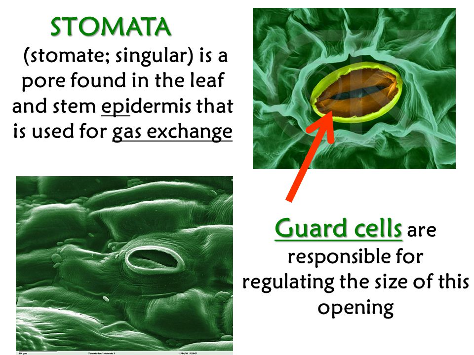 STOMATA (stomate; singular) is a pore found in the leaf and stem epidermis that is used for gas exchange Guard cells Guard cells are responsible for regulating the size of this opening
