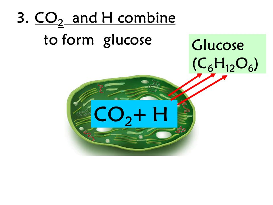 Chemical reaction Sunlight + Carbon dioxide + Water  Glucose + Oxygen (Raw materials/reactants)  (products) SUNLIGHT + H 2 0 + CO 2  C 6 H 12 O 6 + O 2 Sunlight = provides the energy needed to begin the process of photosynthesis Reactants/ Raw materials = the chemicals needed to start process Products = the substances made from the process.