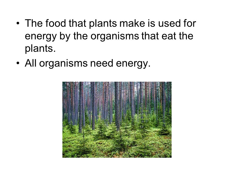 The food that plants make is used for energy by the organisms that eat the plants.