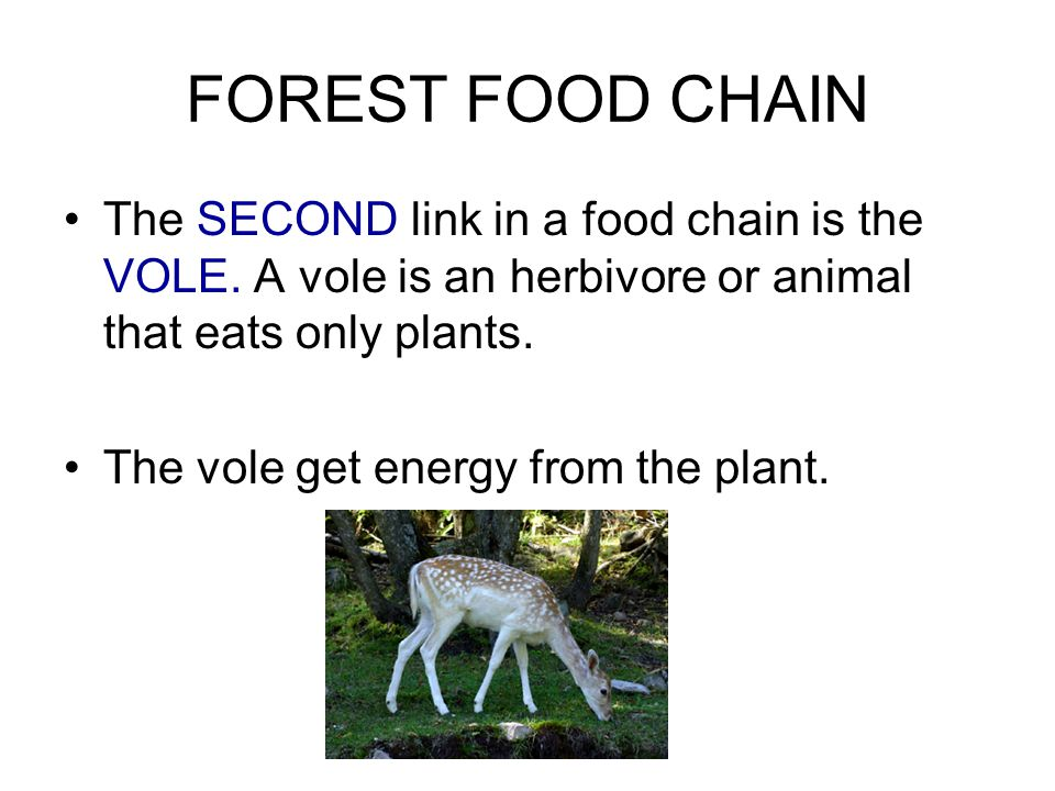 FOREST FOOD CHAIN The SECOND link in a food chain is the VOLE.