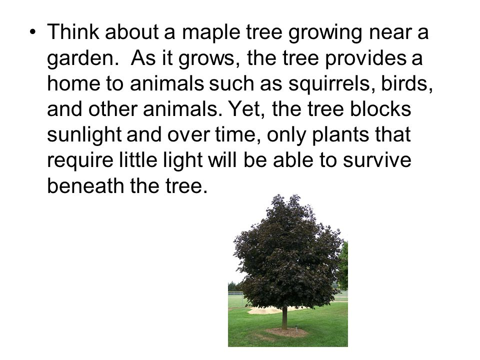 Think about a maple tree growing near a garden.
