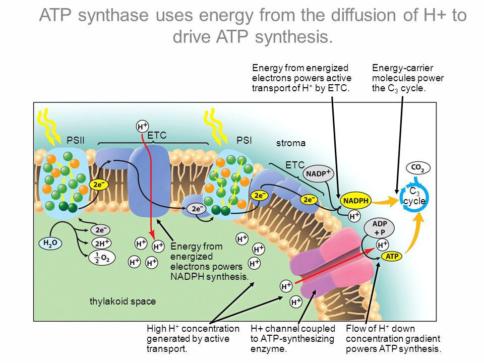 C 3 cycle PSIIPSI ETC stroma ETC thylakoid space Energy from energized electrons powers NADPH synthesis.