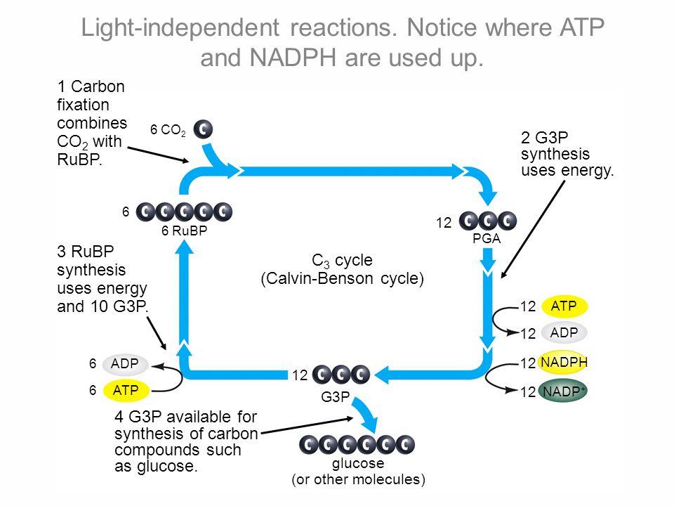ATP ADP NADPH NADP + 12 G3P ATP ADP 6 6 6 6 RuBP 6 CO 2 12 PGA 2 G3P synthesis uses energy.
