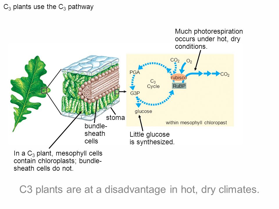 CO 2 C 3 plants use the C 3 pathway bundle- sheath cells In a C 3 plant, mesophyll cells contain chloroplasts; bundle- sheath cells do not.