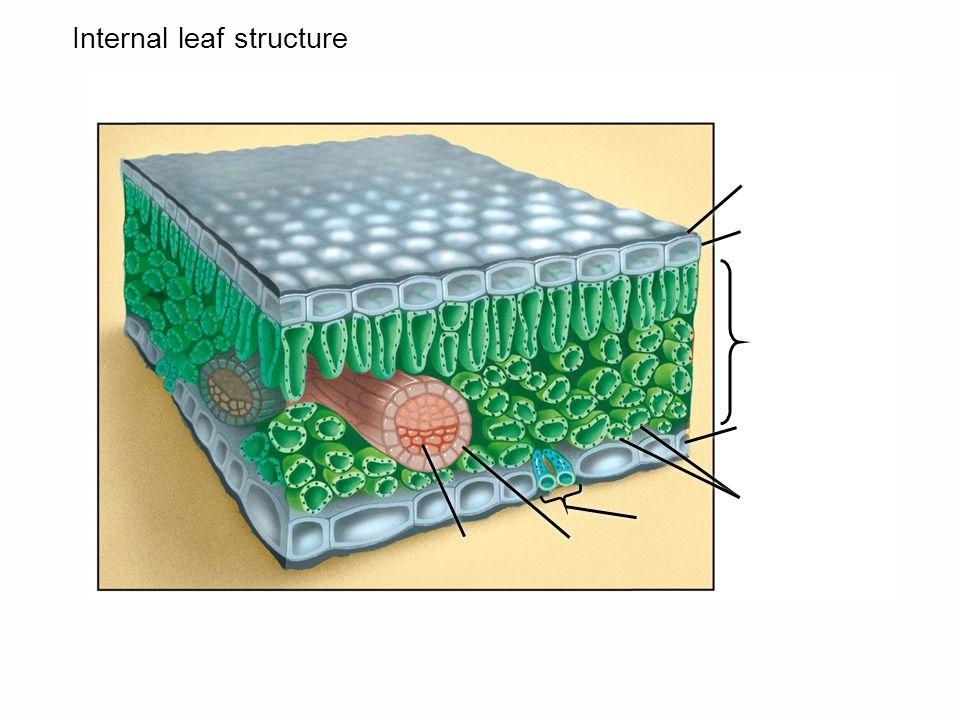 Internal leaf structure