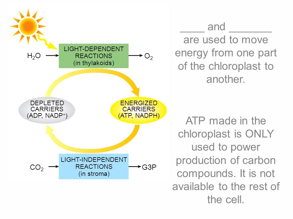 NADPH H2OH2O 2e–2e– 2H + reaction center photosystem II electron transport chain energy to drive ATP synthesis energy level of electrons photosystem I sunlight electron transport chain 2e–2e– 1/2 O 2 H+H+ NADP + 2e–2e– 2e–2e– 2e–2e– 9 Light-dependent reactions convert light energy into temporary chemical energy.