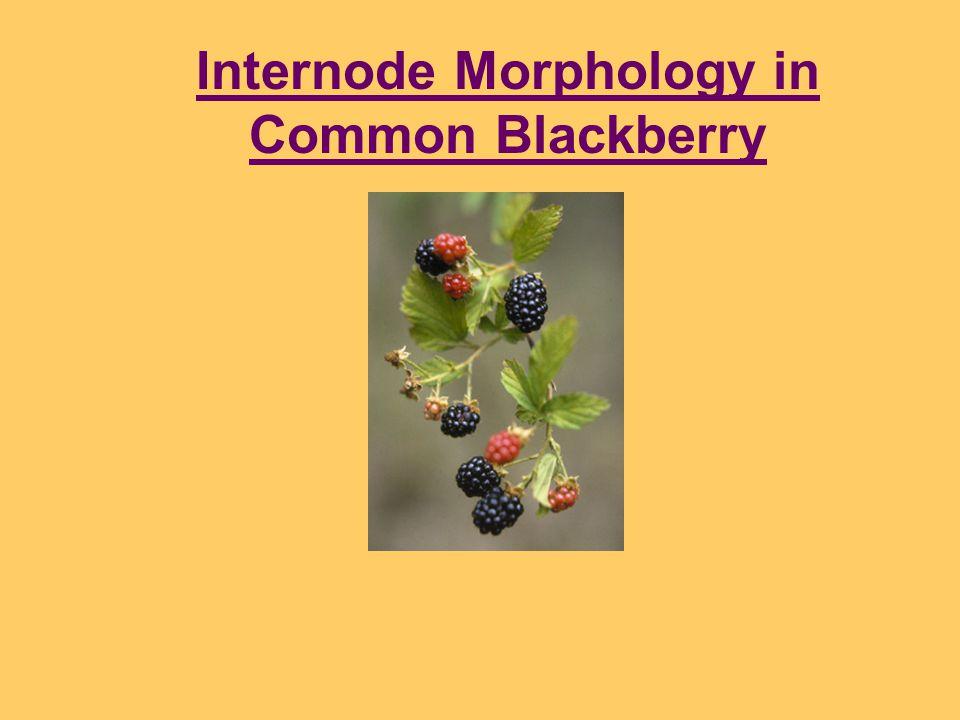 Internode Morphology in Common Blackberry