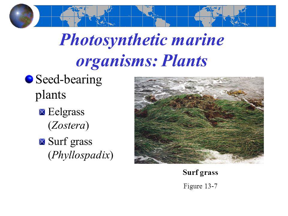 Photosynthetic marine organisms: Plants Seed-bearing plants Eelgrass (Zostera) Surf grass (Phyllospadix) Figure 13-7 Surf grass
