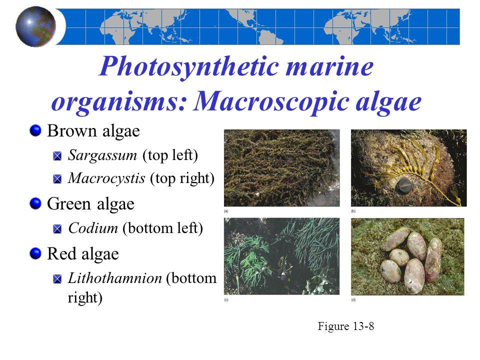 Photosynthetic marine organisms: Macroscopic algae Brown algae Sargassum (top left) Macrocystis (top right) Green algae Codium (bottom left) Red algae