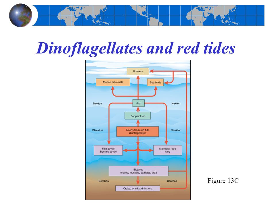 Dinoflagellates and red tides Figure 13C