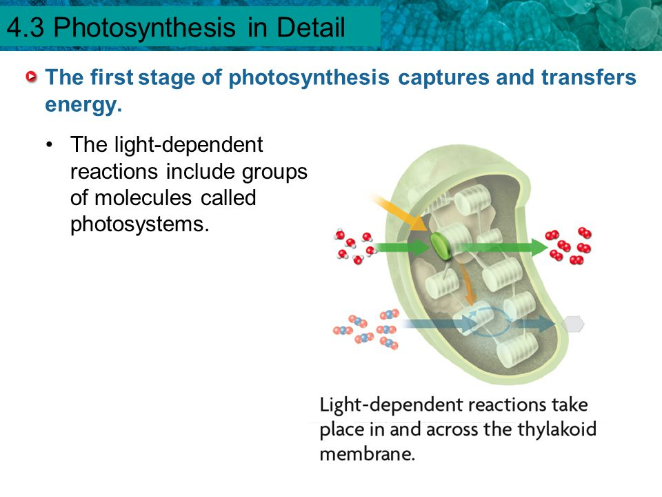 4.1 Chemical Energy and ATP The first stage of photosynthesis captures and transfers energy. The light-dependent reactions include groups of molecules