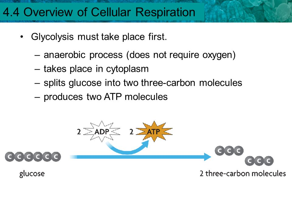 4.1 Chemical Energy and ATP Glycolysis must take place first. –anaerobic process (does not require oxygen) –takes place in cytoplasm –splits glucose i