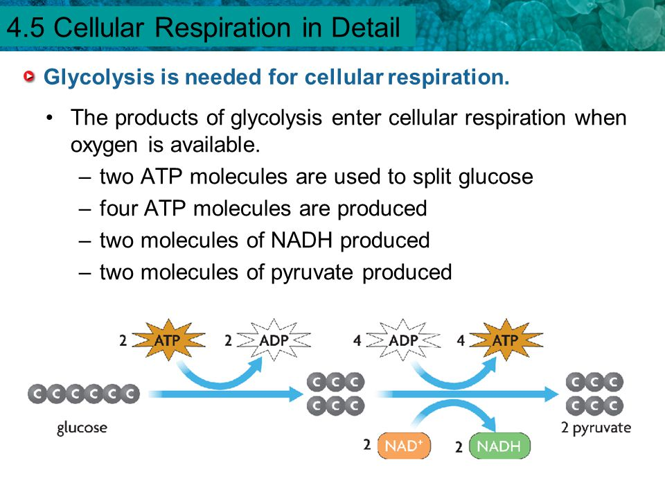 4.1 Chemical Energy and ATP Glycolysis is needed for cellular respiration. The products of glycolysis enter cellular respiration when oxygen is availa