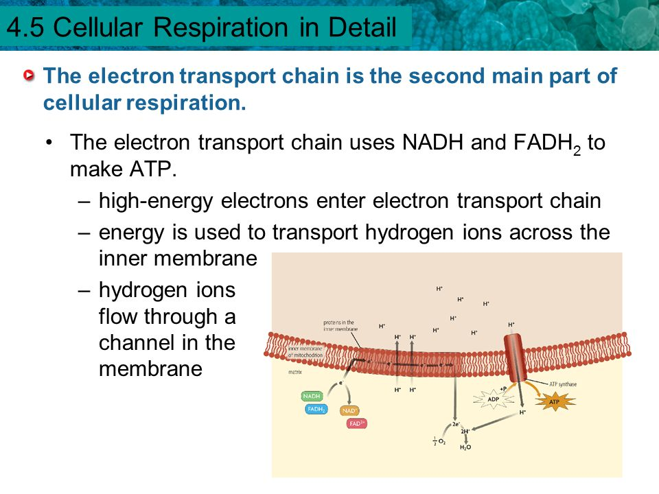 4.1 Chemical Energy and ATP The electron transport chain is the second main part of cellular respiration. The electron transport chain uses NADH and F
