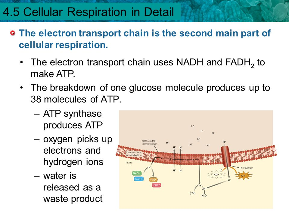 4.1 Chemical Energy and ATP The breakdown of one glucose molecule produces up to 38 molecules of ATP. –ATP synthase produces ATP –oxygen picks up elec