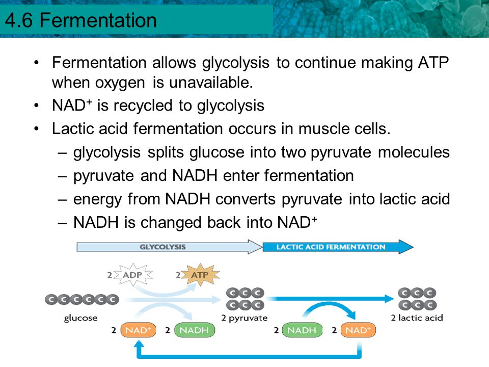 4.1 Chemical Energy and ATP Fermentation allows glycolysis to continue making ATP when oxygen is unavailable. Lactic acid fermentation occurs in muscl