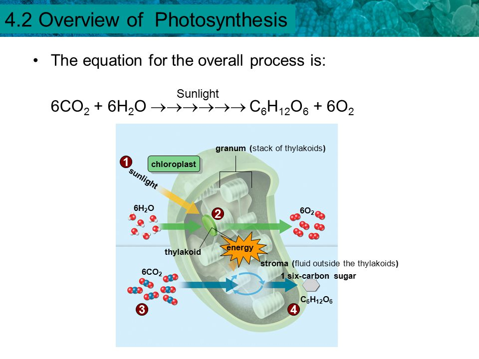 4.1 Chemical Energy and ATP Chlorophyll is a molecule that absorbs light energy.