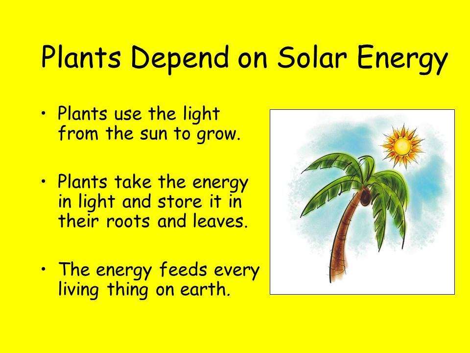 Plants use the light from the sun to grow. Plants take the energy in light and store it in their roots and leaves. The energy feeds every living thing