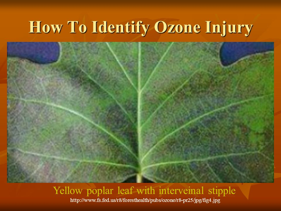 How To Identify Ozone Injury a)The typical symptom of ozone is an upper leaf surface interveinal stipple.
