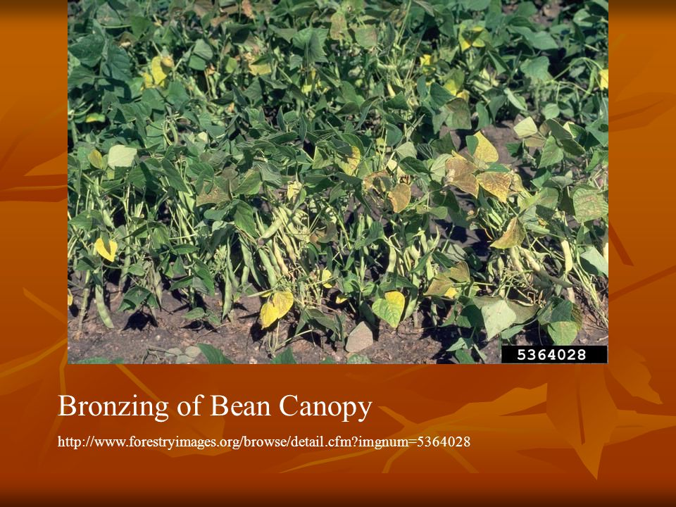Bronzing of Bean Canopy http://www.forestryimages.org/browse/detail.cfm?imgnum=5364028