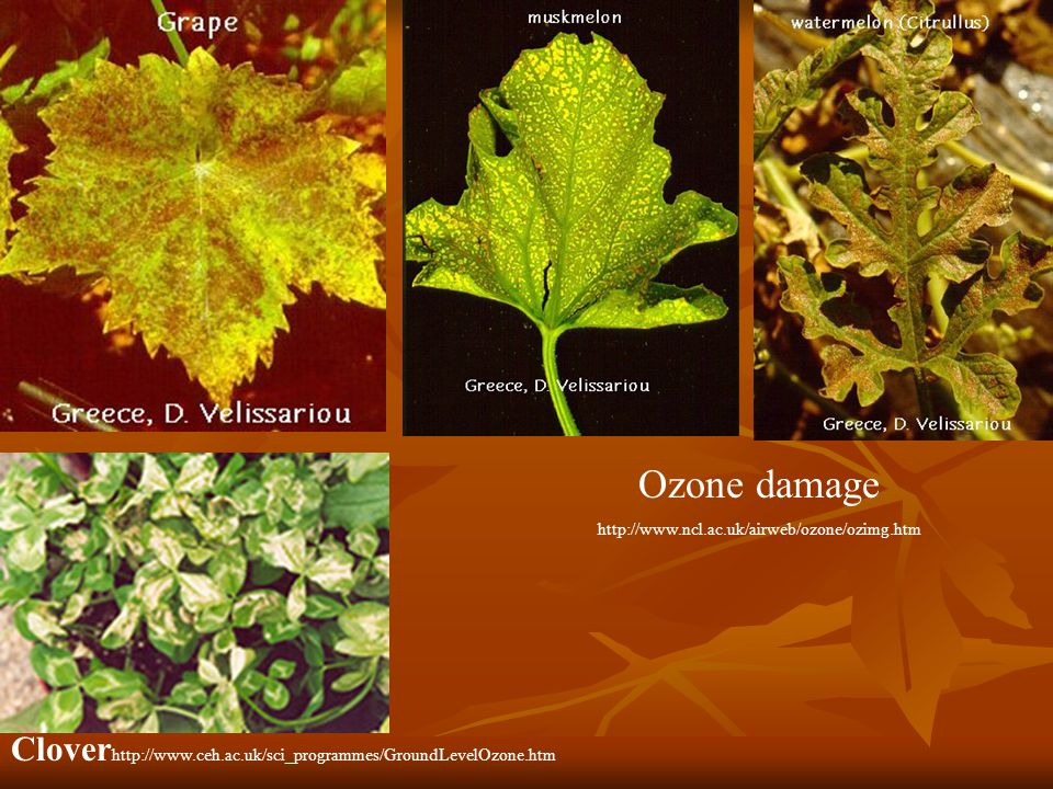 Ozone damage http://www.ncl.ac.uk/airweb/ozone/ozimg.htm Clover http://www.ceh.ac.uk/sci_programmes/GroundLevelOzone.htm